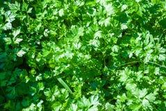 Parsley. Petroselinum. parsley leaves royalty free stock photos