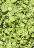 Parsley. A pile of fresh Parsley Stock Photos