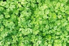 Parsley plant background Stock Photography