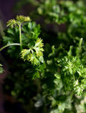 Parsley Plant Royalty Free Stock Photos