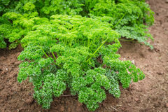 Parsley Plant Stock Photos