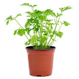 Parsley plant in a flowerpot Stock Photo