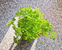 Parsley plant with fresh green leaves Royalty Free Stock Photo