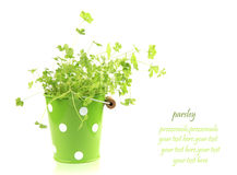 Parsley. Plant parsley in the green  bucket Stock Images