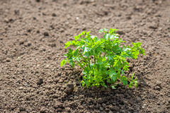 Parsley plant Stock Image