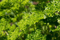 Parsley plant. Parsley herb plant closeup on garden stock photo