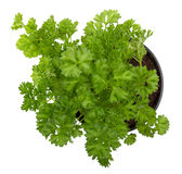 Parsley plant. Parsley herb potted plant over white stock photography