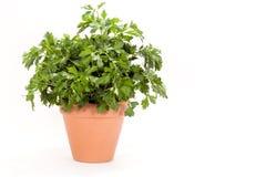 Parsley Plant - Italian Flat Leaf. A flat leaf (Italian) parsley plant in a terra cotta pot, white background. Parsley (Petroselinum crispum) is a bright green Stock Photography
