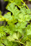 Parsley Plant Macro. Macro shot of some fresh green parsley growing in the garden Royalty Free Stock Photography