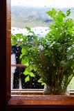 Parsley plant on rainy window sill. Parsley plant on outside window sill with raindrops on glass stock photo