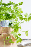 Parsley plant Royalty Free Stock Images