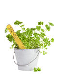 Parsley plant in tin bucket isolated Royalty Free Stock Image