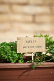 Parsley plant on urban garden Stock Image