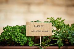 Parsley plant on urban garden Royalty Free Stock Photography