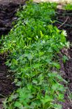 Parsley planted in rows and growing outdoors Stock Images