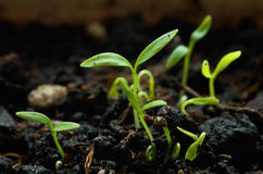 Parsley germinating Stock Images