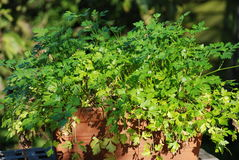 Parsley pot Stock Photo