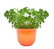 Parsley in a pot Stock Photos
