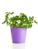 Parsley in a pot royalty free stock photo