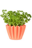 Parsley in pot Stock Images