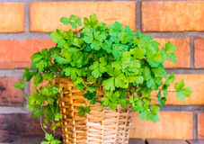 Parsley in the pot with brick background. Fresh parsley in a pot with the brick background royalty free stock images