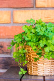 Parsley in the pot with brick background. Fresh parsley in a pot with the brick background stock photo