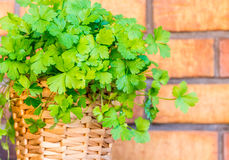 Parsley in the pot with brick background. Fresh parsley in a pot with the brick background stock image