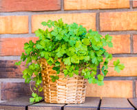 Parsley in the pot with brick background. Fresh parsley in a pot with the brick background royalty free stock photography