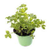 Parsley in pot Royalty Free Stock Photography