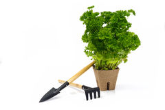 Parsley in pot with garden tools Stock Photography