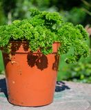 Parsley in a pot. Parsley grown in a pot Royalty Free Stock Photos