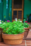 Parsley Pot Royalty Free Stock Images