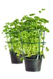 Parsley pots Royalty Free Stock Photography
