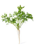Parsley root isolated Royalty Free Stock Photography