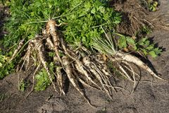 Parsley roots Stock Photography