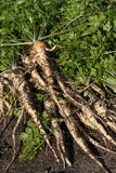 Parsley roots Royalty Free Stock Photos
