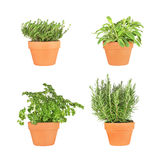Parsley, Sage, Rosemary and Thyme Herbs. Growing in terracotta pots over white background royalty free stock photo