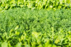 Parsley salad dill close-up background. Parsley salad dill close up green background stock photo