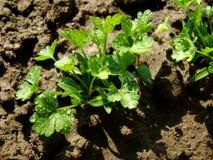 Parsley seedlings. Some parsley seedlings after watering Stock Photo