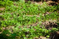 Parsley seedlings Royalty Free Stock Photo
