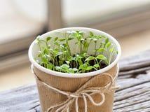 Parsley seedlings. Seedlings of parsley in pot indoors in front of a window Royalty Free Stock Image