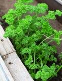 Parsley seedlings. Stock Images