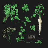 Parsley set. Hand drawn colorful collection with greens, bunch, leaf, root, flower. Vector illustration on black Stock Photography