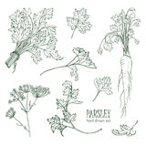 Parsley set. Hand drawn contour collection with greens, bunch, leaf, root, flower. Vector illustration. Stock Photo