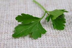 Parsley sheet on a rough linen fabric. Removed close up Royalty Free Stock Image