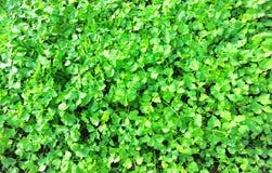 parsley shoots Stock Photo