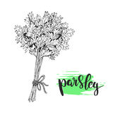 Parsley sketch illustration Royalty Free Stock Photography