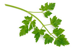 Parsley sprig Royalty Free Stock Photography