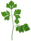 Parsley sprig stock images