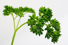 Parsley Sprig. A sprig of parsley isolated on a white background Stock Photo